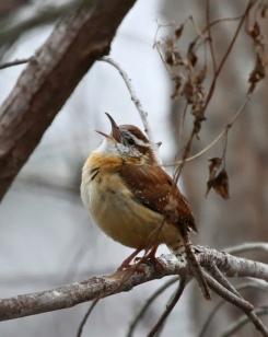 Wren-Bird