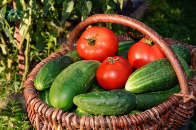 Tomatoes and Cucumber Harvest