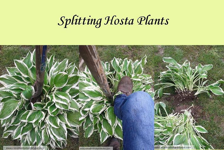 Splitting_hostas_step_By_step
