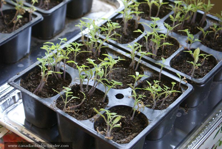 Tomato Seedlings In Cell Packs