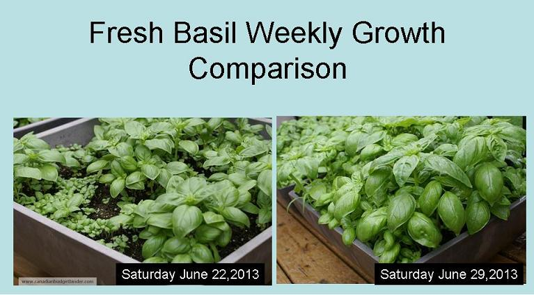 Fresh Basil Weekly Growth Comparison