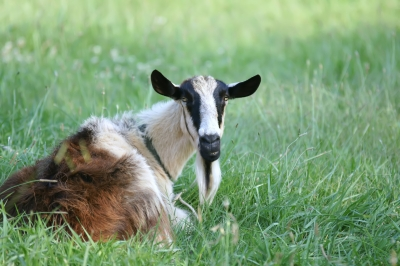 goat laying in the pasture