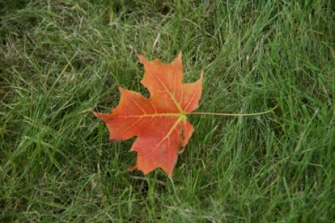 Canada maple-leaf