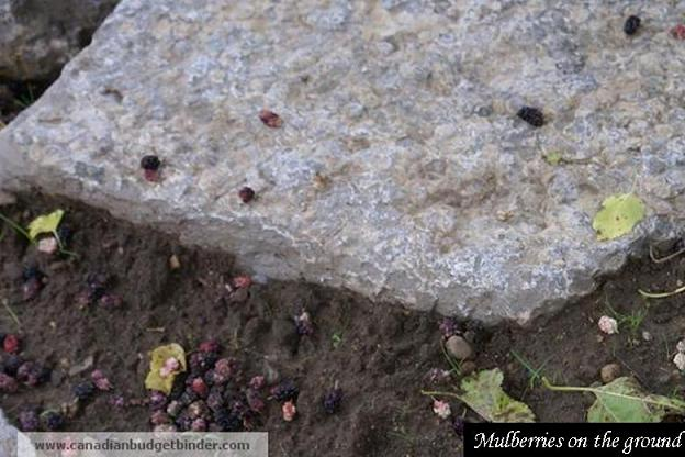 Mulberries-on-the-ground-2