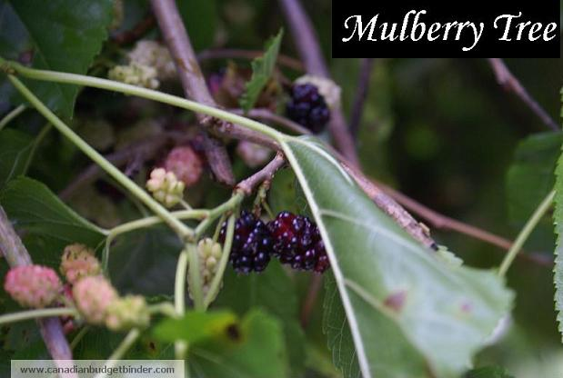 Mulberry-tree-wm