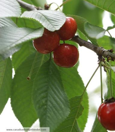 cherries-on-tree