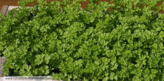 fresh-curly-leaf-parsley
