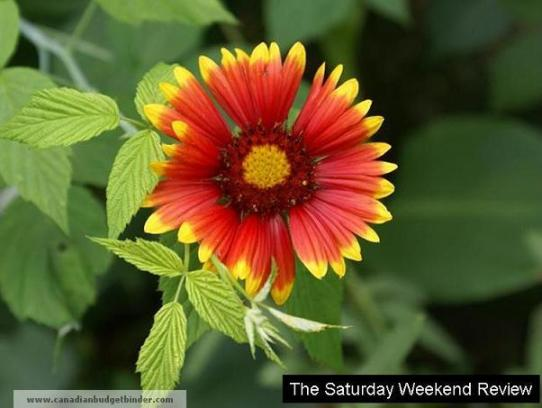 The-Saturday-Weekend-Review-Buckeye-Daisy