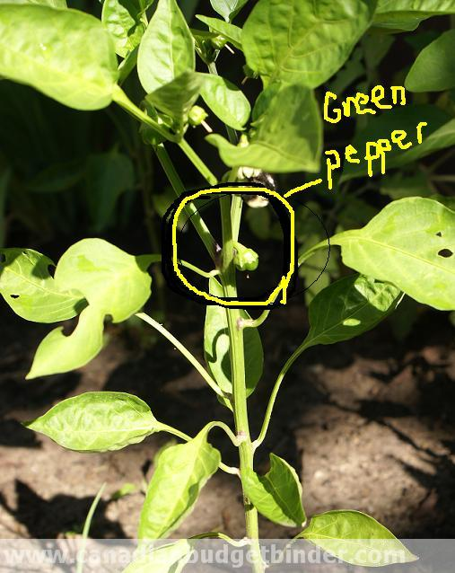 Green-pepper