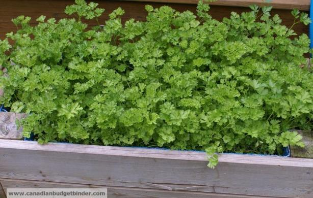 curly-parsley-in-container-box